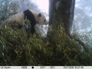 Sniffing panda