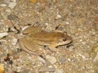 An Adult Sabinal Frog from Mexico