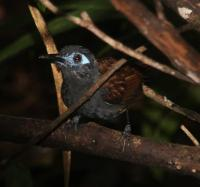 Chestnut Backed Antbird
