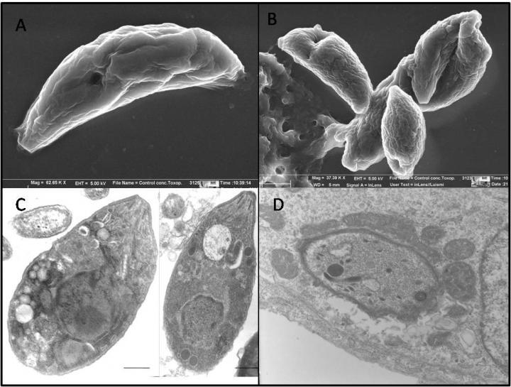 <i>Toxoplasma</i> Parasite
