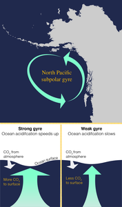 This graphic of the North Pacific subpolar gyre in the Gulf of Alaska shows how the strength of the gyre can speed or slow ocean acidification based on the amount of carbon dioxide brought to the surface of the ocean.