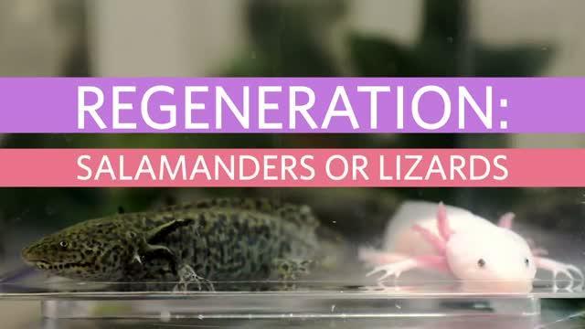 Regeneration: Salamanders v. Lizards