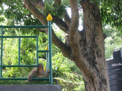 Swoyambhu Monkey