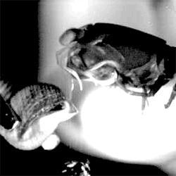 Smashing Mantis Shrimp