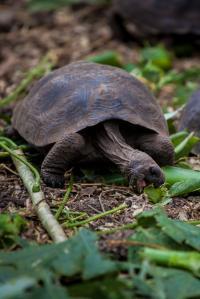 Pinzón Tortoise Hatchling, Pinzón Island, Galapagos