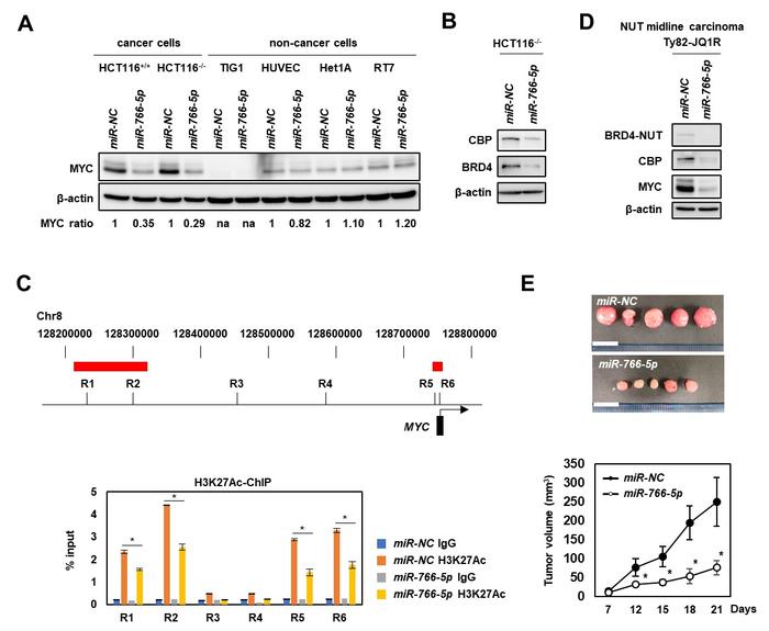 図1. miR-766-5pの抗腫瘍効果