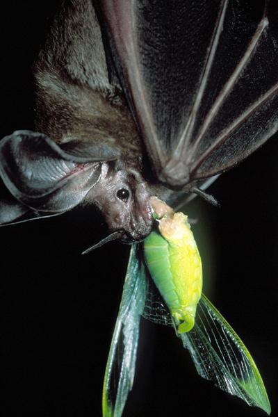 Bat and Katydid