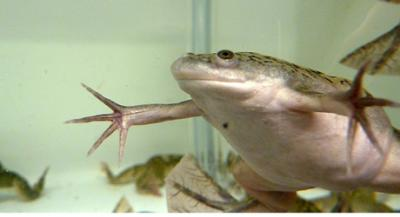 <i>Xenopus laevis</i>, the African Clawed Frog
