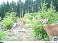 Browsing Blacktail Bucks