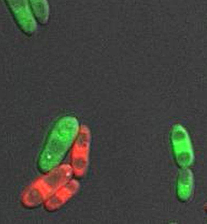 Fluconazole Makes Fungi Sexually Active
