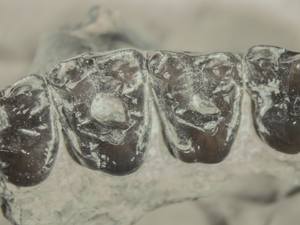 The largest and earliest known sample of dental caries in an extinct mammal (Mammalia, Euarchonta, Microsyops latidens) and its ecological implications