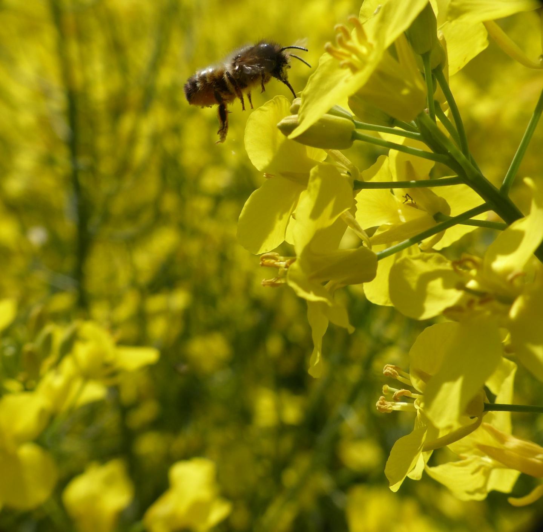 Solitary wild bee on an oilseed rape flower