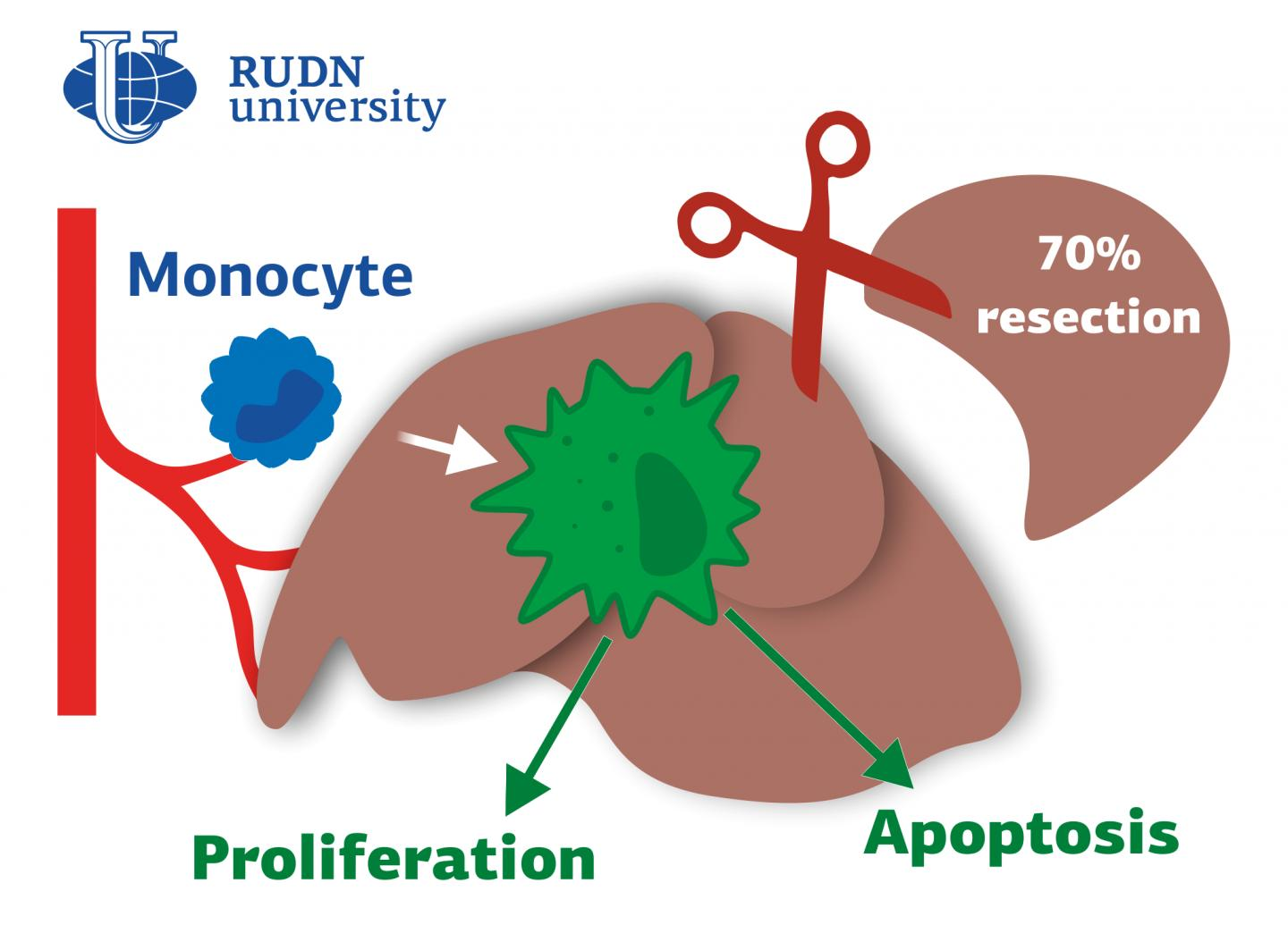 RUDN University Doctors Found out the Role of Macrophages in Liver Regeneration