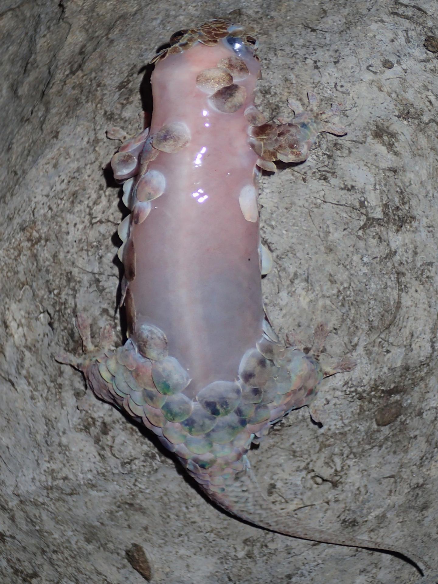 Denuded <i>Geckolepis megalepis</i>