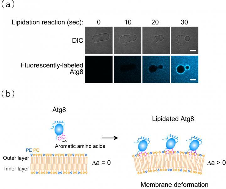 Membrane transforming
