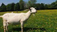Goats at Buttercup Sanctuary in Kent, UK