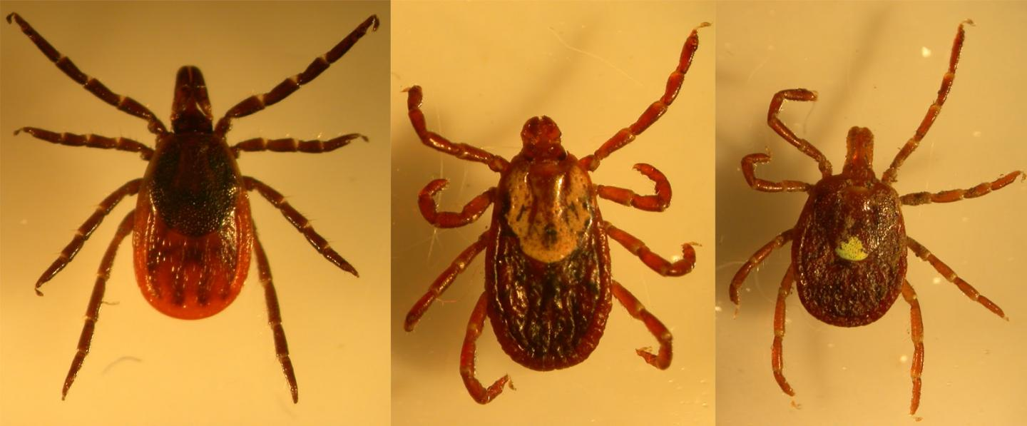 Three Tick Species Collected on Long Island