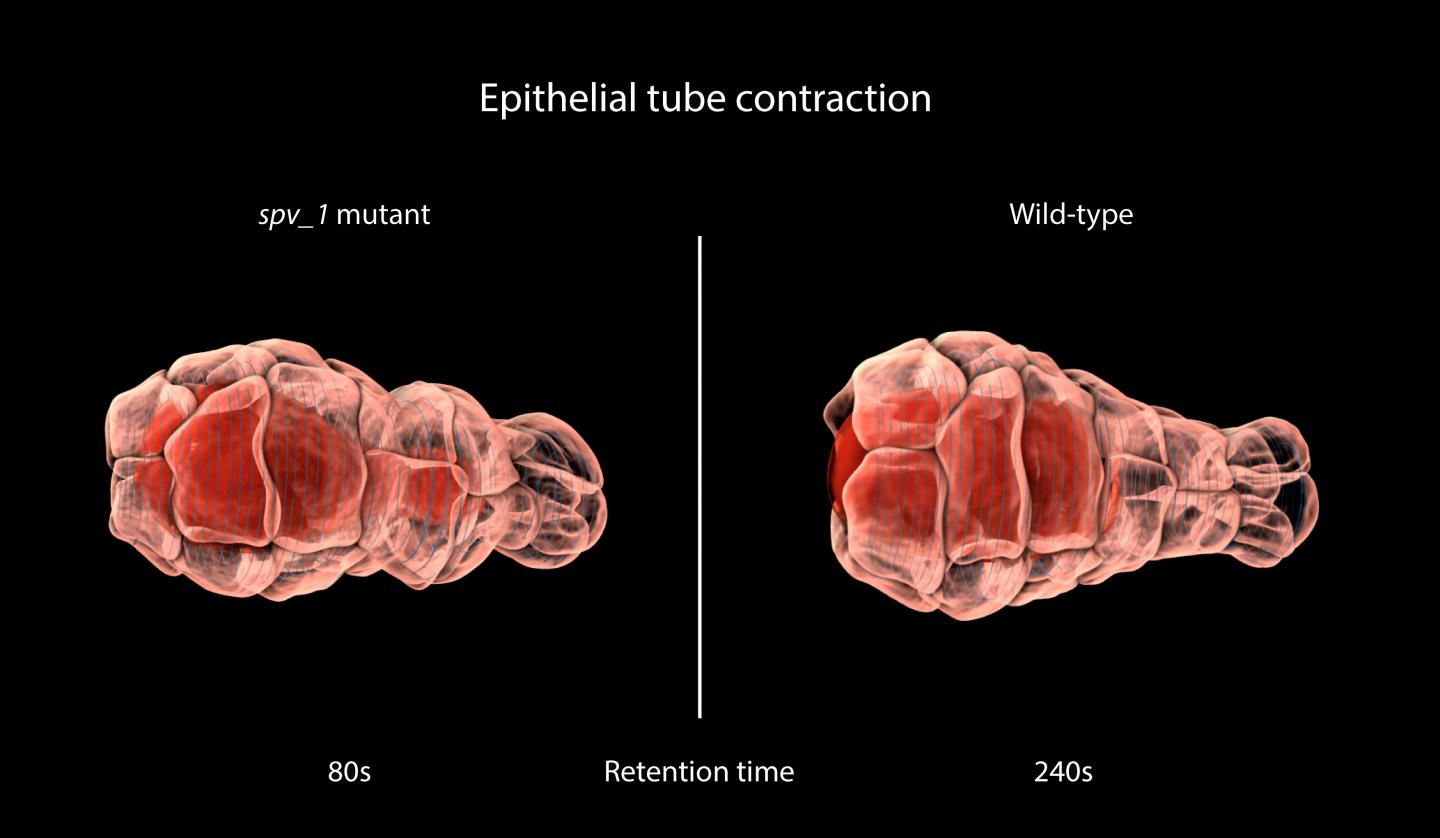 Epithelial Tube Contraction