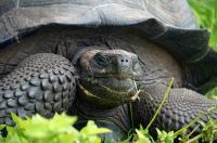 New Giant Galapagos Tortoise