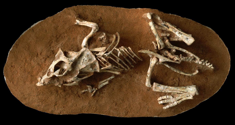 Hatchling <em>Protoceratops</em>