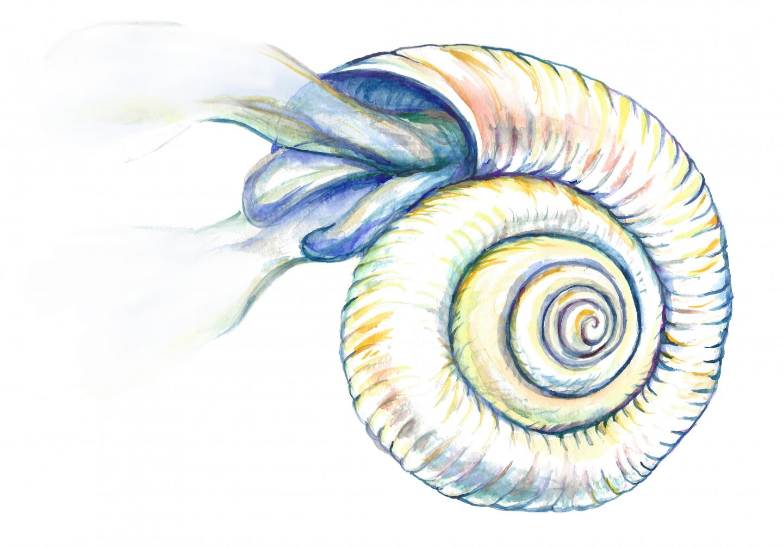 Pteropod Illustration