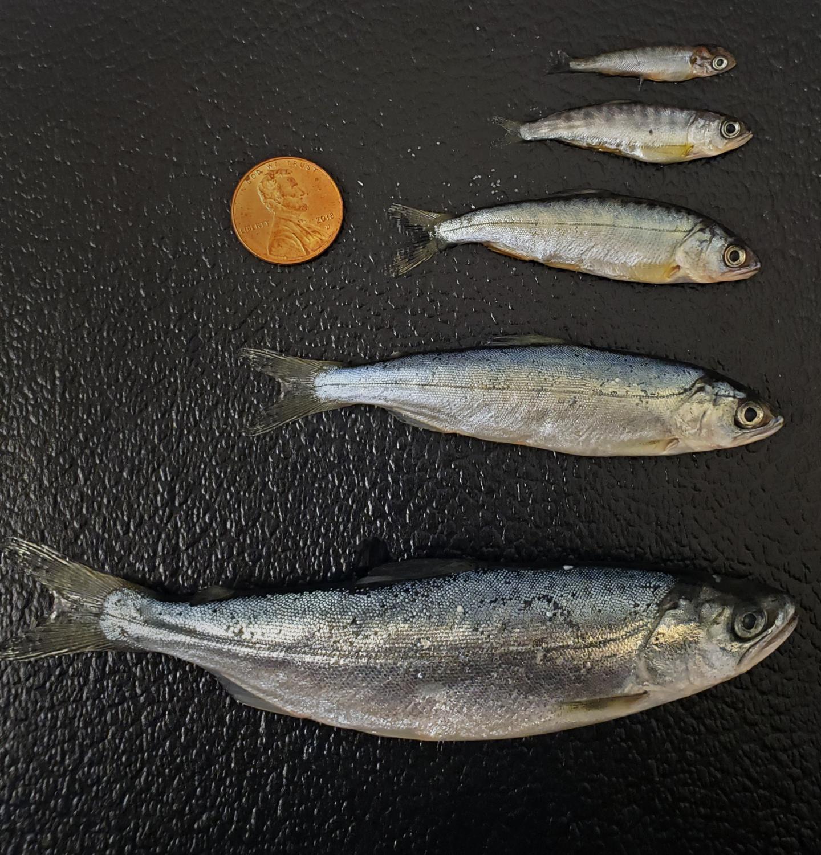 Juvenile Chinook Salmon