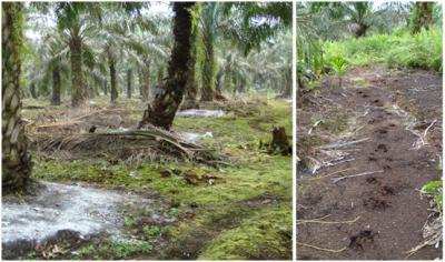 Conditions at a Mature Oil Palm Plantation Site