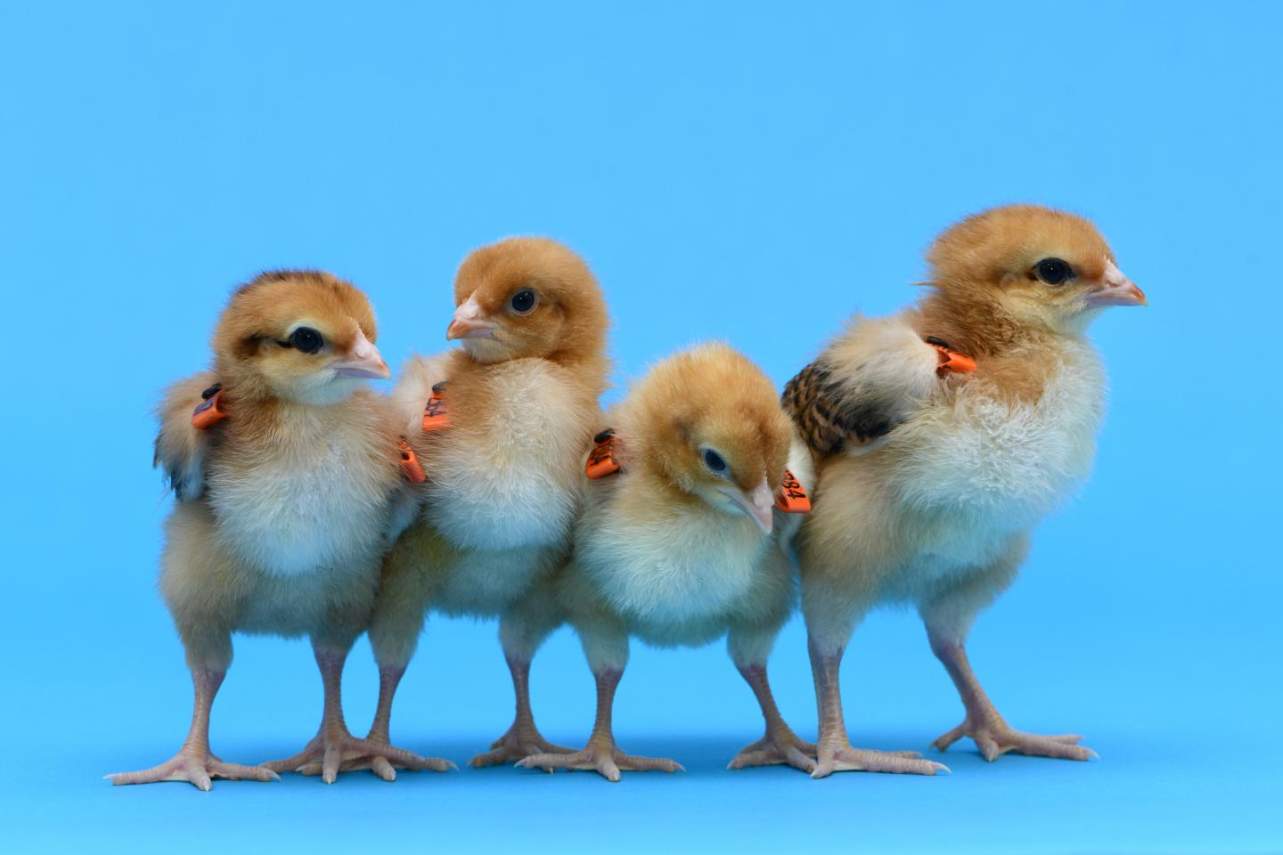 Gene-edited Hens Produced as Surrogates to Save Rare Breeds
