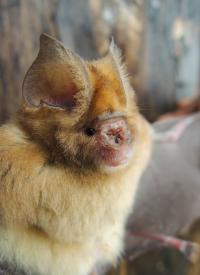 New Bat Species 1