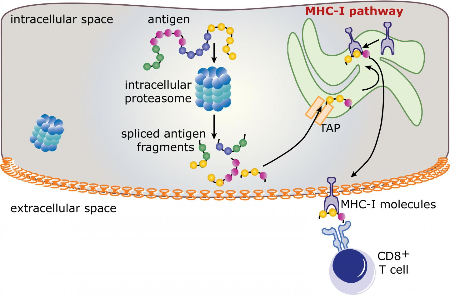 Spliced Epitopes During the Immune Response