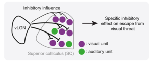 vLGN inhibitory influence on superior colliculus