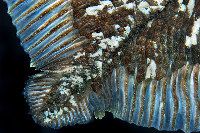 Coelacanth scales