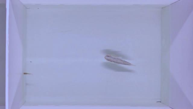 Mosquitofish Avoids Biomimetic Predator