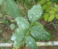Spray Residue on Rose Following a Recent Spraying of a Fungicide and a Streptomycin/tetracycline