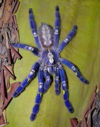 Peacock tarantula spider