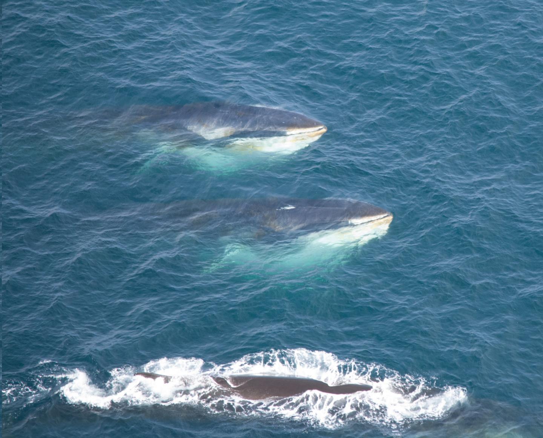 Three Fin Whales