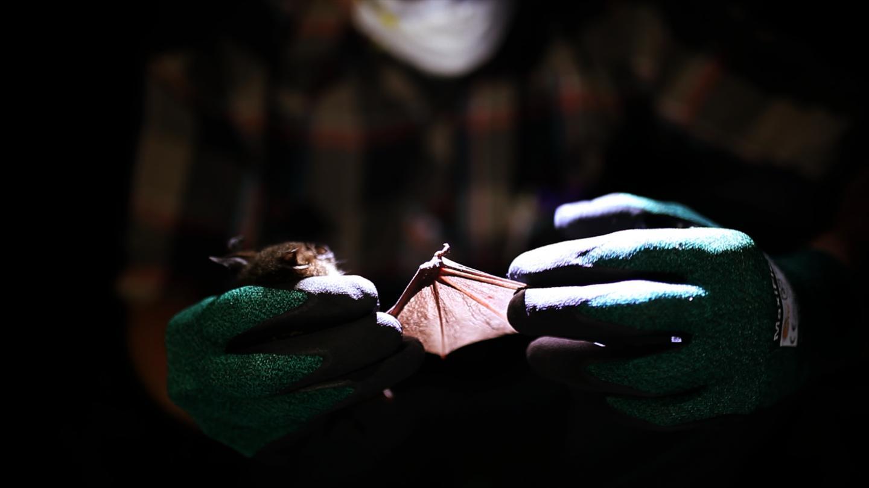 Cyclops leaf-nosed bat