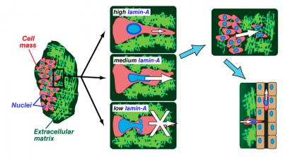 How Lamin-A Controls Cell Migration Via Nuclear Stiffness