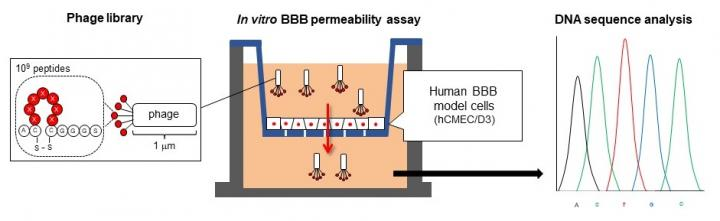 Screening Method for Cyclic Peptides that Help Nanoparticles Penetrate the Blood-Brain Barrier
