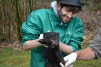 Tasmanian Devil Examination