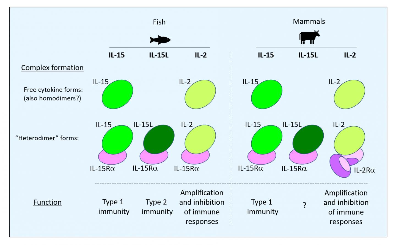 IL-2, IL-15, and IL-15L in fish and mammals