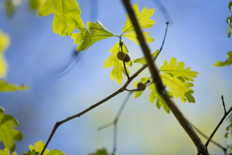 White Oak Galls