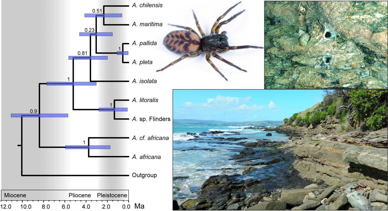 Dispersal of Coastal Spider Ancestors May Have Occurred Eastward across Oceans around Southern Hemis