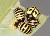 <i>P. microspina</i>