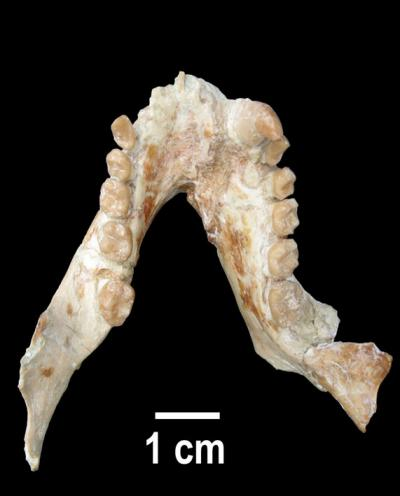 Jaw of a Male Pliopithecus canmatensis