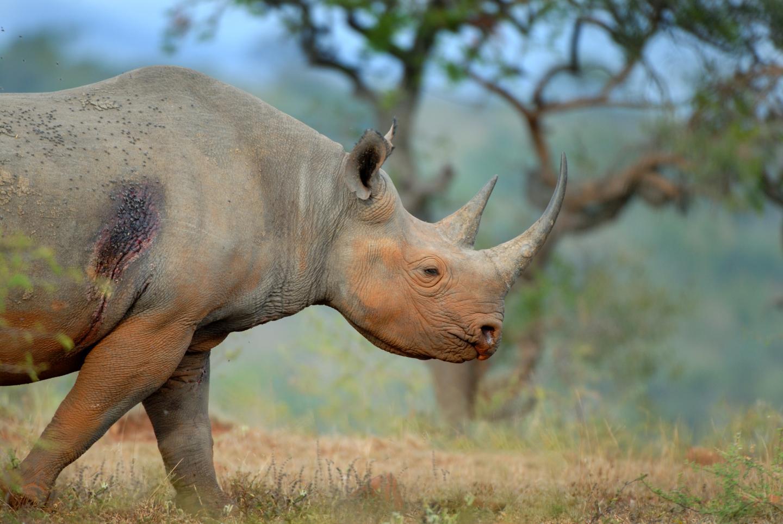 Close-Up of Black Rhino