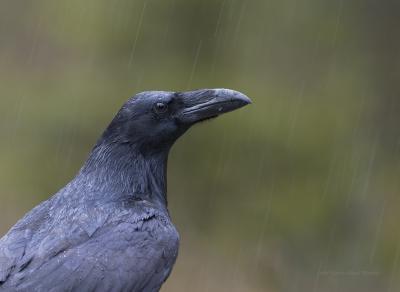 Raven in Rain
