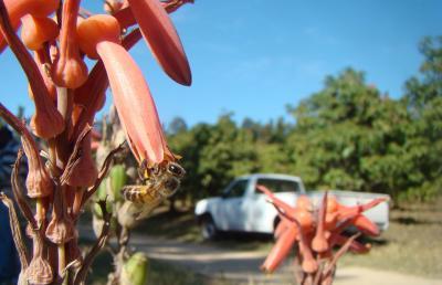<i>Aloe greatheadii</i>