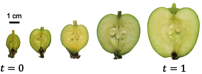 Apple cross sections at different stages of growth