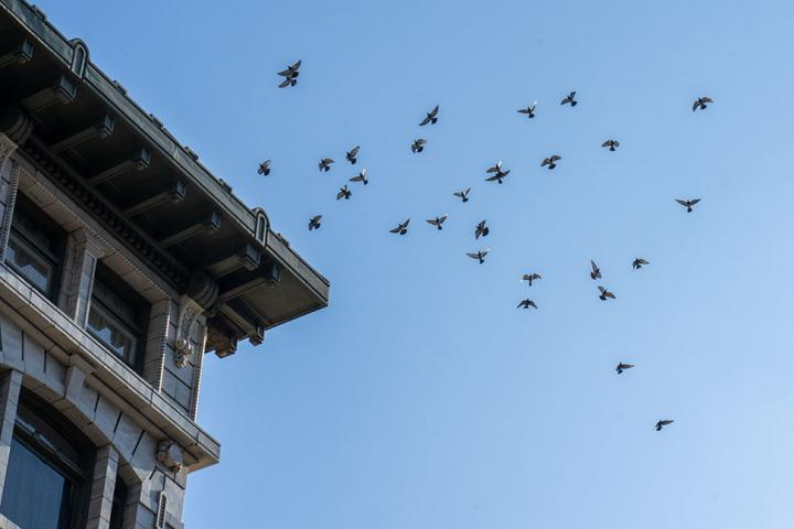 A Flock of Pigeons in Coordinated Motion